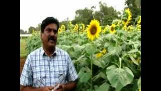 Sunflower in India