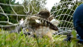 Great horned owl  rescued from a soccer net in East Bridgewater Ma.