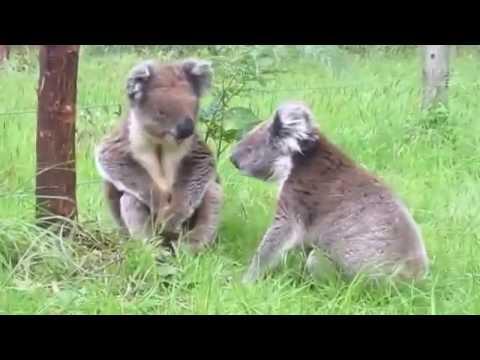 Co kurwa - koala skurwiel