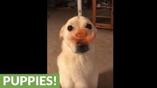 Dog flawlessly balances Fidget Spinner on his nose