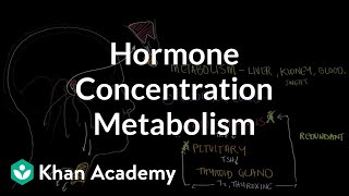 Hormone concentration metabolism and negative feedback
