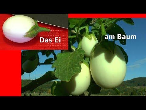Das Ei vom Baum. Neue Wege in der Anzucht gehen und sehen. Der Eierbaum und das Ei
