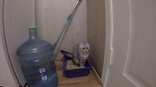 🐱 Котенок Какает 🐱 Смешное видео про котенка в туалете 🐱 Скоттиш Фолд