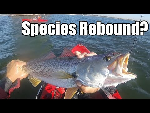 Madness Weakfish