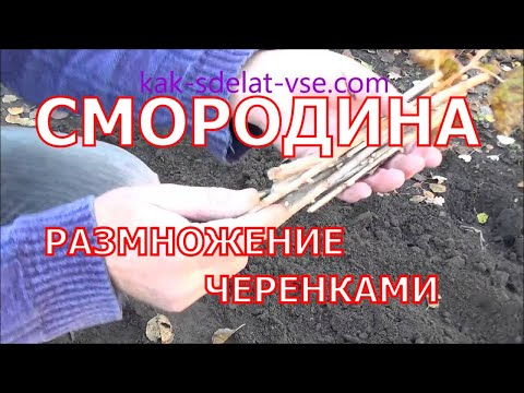 Как разводить черную смородину черенками осенью