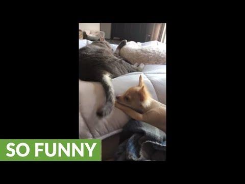 Chihuahua puppy loving pesters feline friend