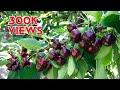 U-PICK CHERRY FARM 2019 🍒 at LODI BLOOMS | LODI, CA បេះផ្លែឆេរីនៅចំការទីក្រុងឡូដាយរដ្ធក៉ាលី