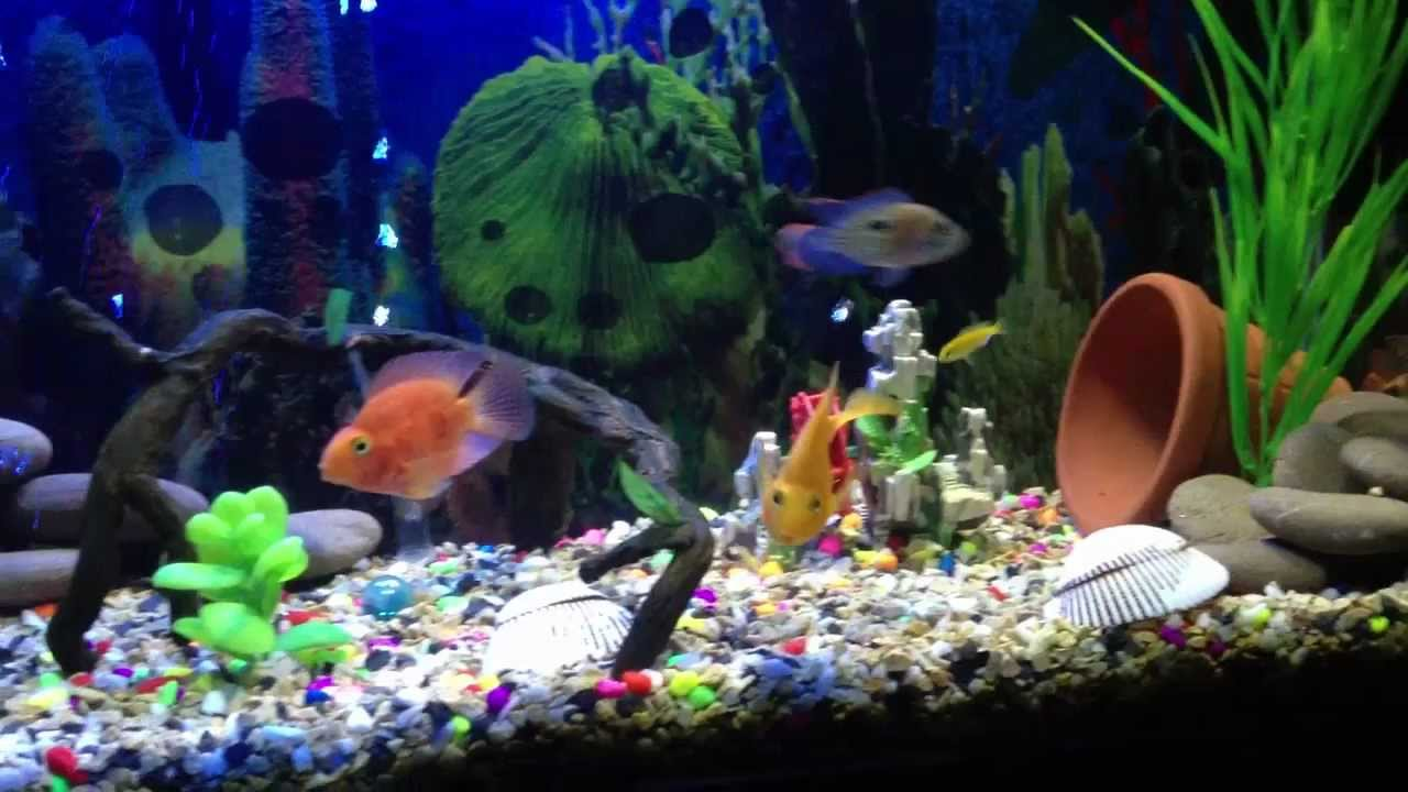 Freshwater fish compatibility - Freshwater Cichlid Aquarium Red Blood Parrots And Green Terrors Together Youtube