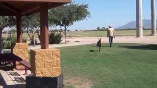 Lucifer Tzen - European - Doberman - Pinscher - On/off Leash Obedience - And Distraction Training.