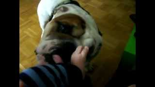 Download Video British Bulldog Baby: dog licking baby foot - english bulldog MP3 3GP MP4