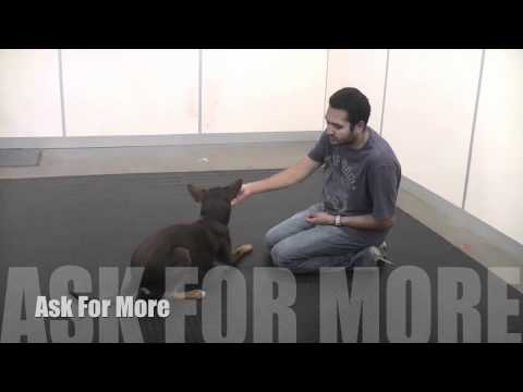 Teaching you dog how to  Sit, Down and Stand on Cue using Lure and Reward Training
