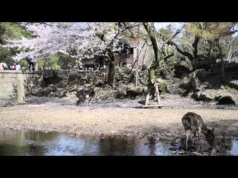 日本近畿 櫻花散策_日本京都賞櫻/KYOTO/OSAKA/SAKURA/Kyoto cherry