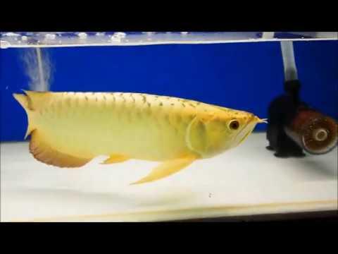 Top 5 Golden Arowana Fish | Full Helmet 24K Gold Arowana King