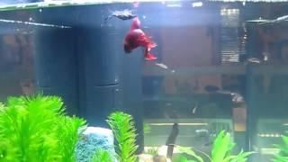 Kampffisch Bei Der Paarung