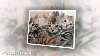 Котята Бенгальские на продажу (СП-б)