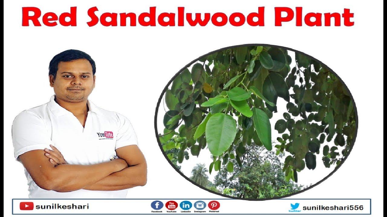 red sandalwood plant | rakta chandan plants | lal chandan | Pterocarpus  Santalinus