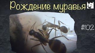 Свой среди чужих // рождение муравья // Camponotus turkestanus // #102