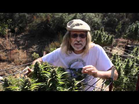 Jorge Cervantes: VARIETIES - Kush, Mr. Nice, Blackberry From Lake County Outdoor (Part 4)