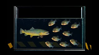 WHAT HAPPENS IF LARGE FISH ARE THROWN TO PIRANHA? LOWERED MY HAND TO PIRANHAS! смотреть онлайн в хорошем качестве бесплатно - VIDEOOO
