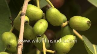 Bunch of unripe green Jamun fruit on the tree