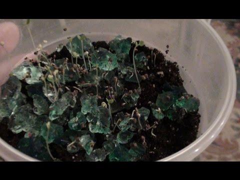 Чудо шарики, растущие в воде - Гидрогель - Как вырастить - YouTube