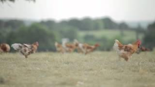 Les poulets Bio de Loué à Tout-Joly