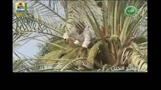 DATE FRUIT PALM FLOWER POLLINATION