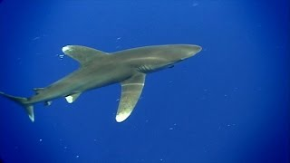 Shark Academy: Oceanic Whitetip Sharks!