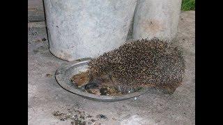 Ёжик крадёт рыбу у кота / The hedgehog steals fish from the cat