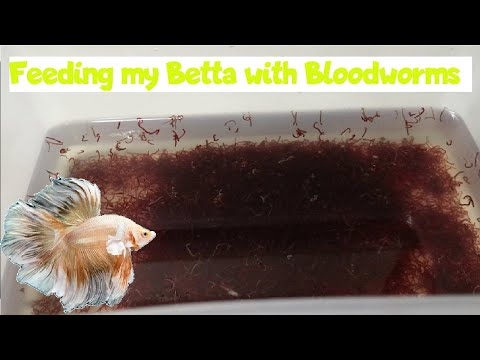 Feeding My Betta With Bloodworms