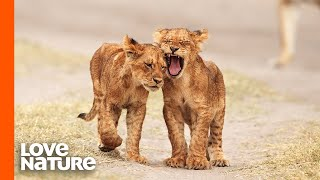 Lion Cubs Go On Their First Adventure