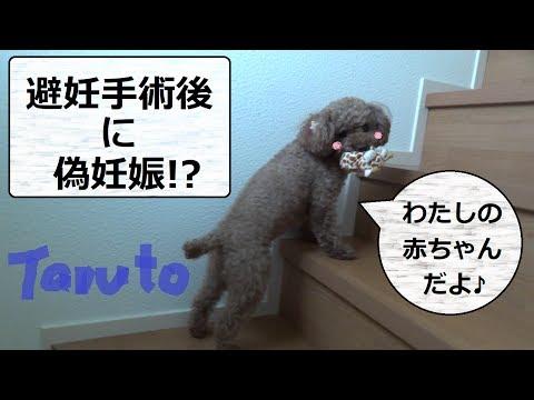 避妊手術後に偽妊娠! 異常行動 トイプードルのTaruto