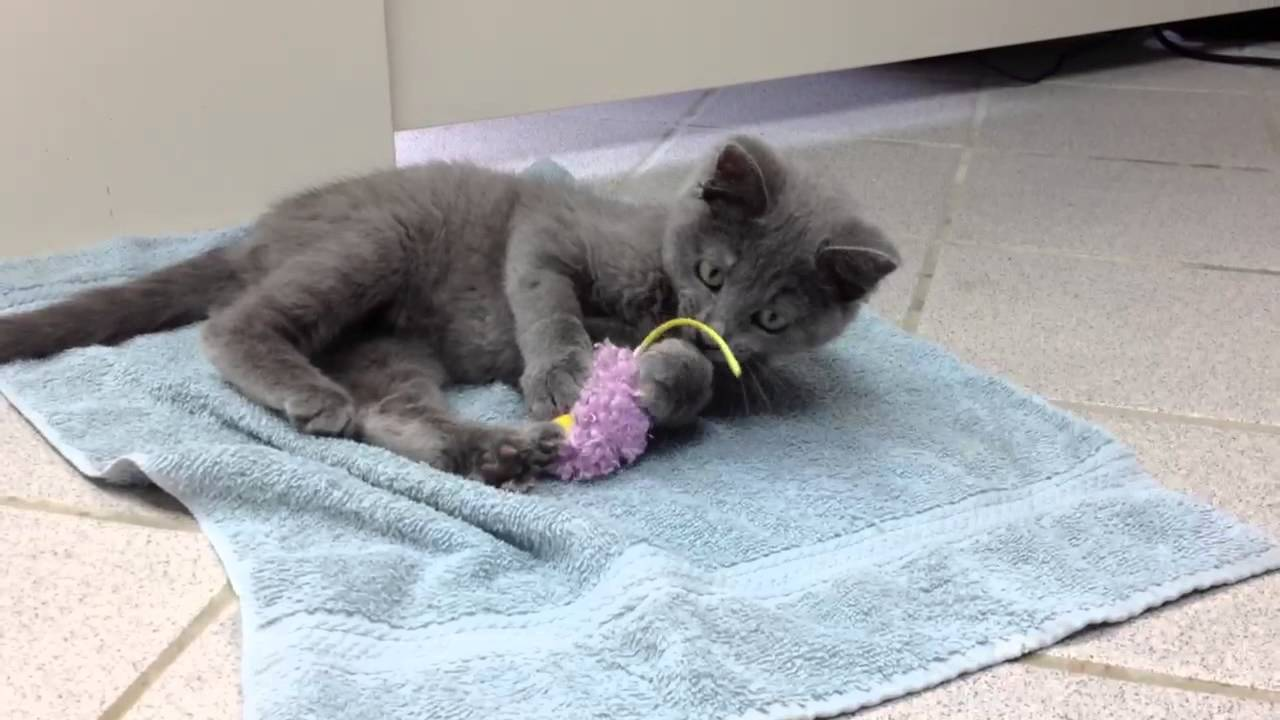 Odin Russian Blue mix kitten