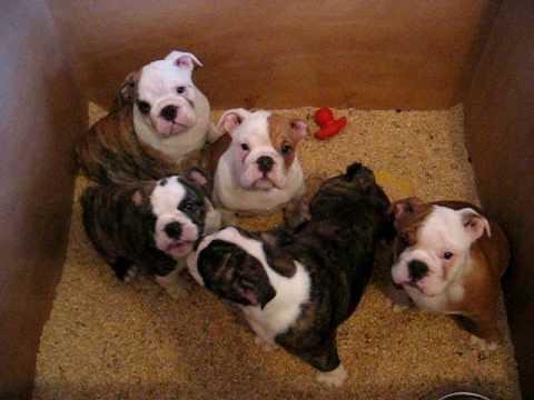 Video Chiots Bulldog Anglais English Bulldog Puppies A 2 Mois
