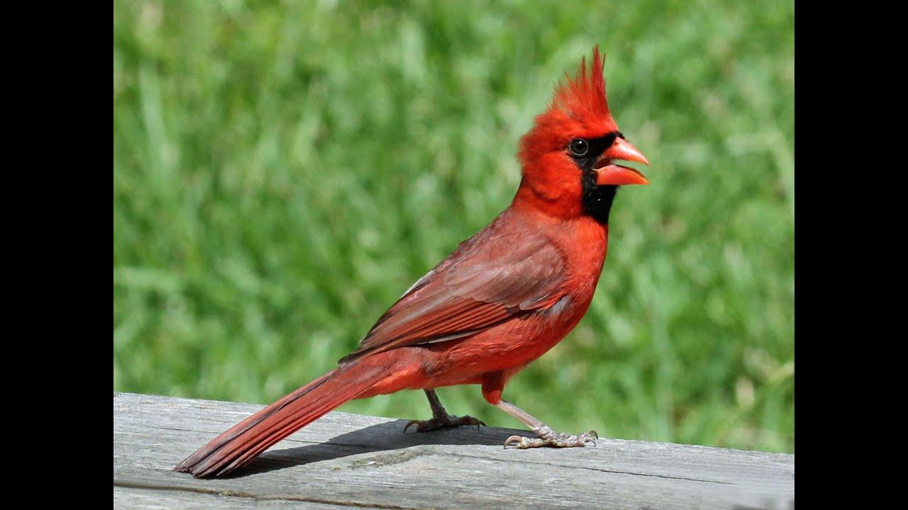 Passaro Vermelho Passaro Cardeal Cardinalis Cardinalis