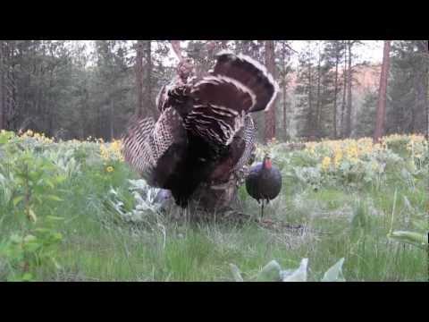 Turkey Hunting, Spokane WA #15