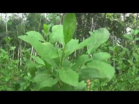 """""""obat-herbal-perut-kembung"""",-cara-mengobati-perut-kembung-dengan-""""manfat-daun-beluntas"""""""