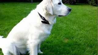 Beautiful White  Labrador Retriever On Green Grass