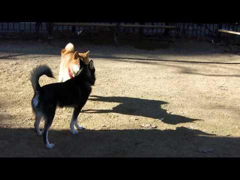 Alfie the Alaskan Klee Kai puppy meets a Shiba Inu girl