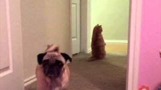 Кот, считающий себя человеком / george2legs