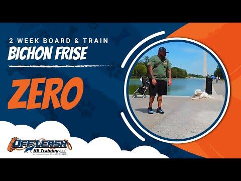 Bichon Frise Zero | Small dog | amazing obedience | Ecollar | Nova dog trainers