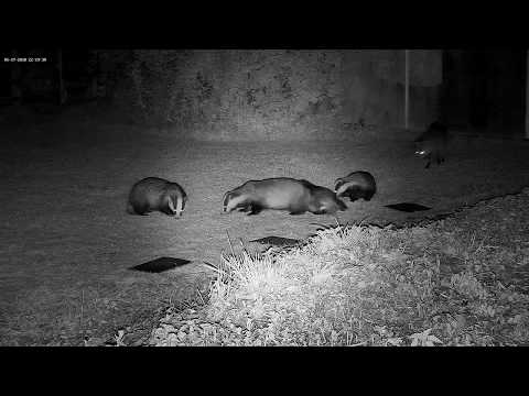 badgers-are-fiesty-little-critters---with-sounds