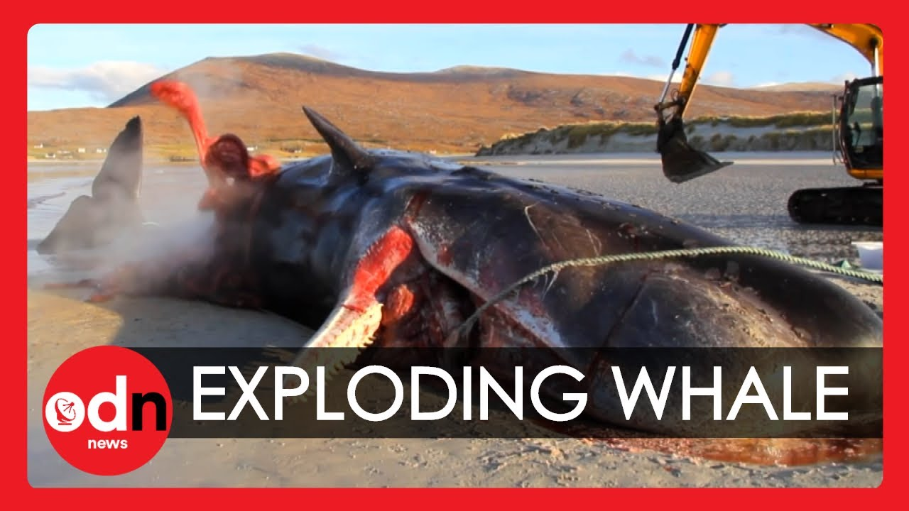 Graphic Sperm Whale Explodes During Postmortem Examination Youtube