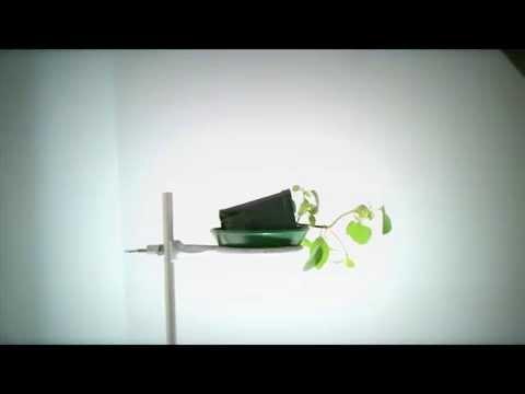Phototropism Vs. Gravitropism: Basil Plant