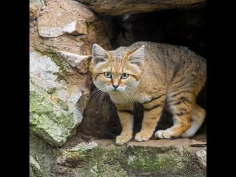 National animal of Uzbekistan
