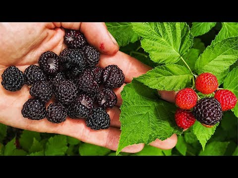 BLACK RASPBERRIES, Everything You Need To Know!