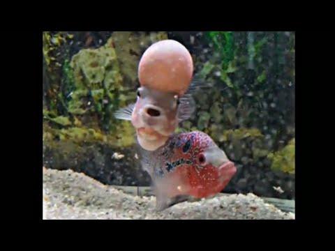Download Beautiful Flowerhorn Pair Couple Flowerhorn Fish MP3, MKV