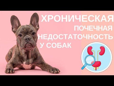 Хроническая почечная недостаточность у кошек и собак.