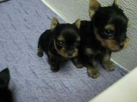 Shimmer Jet Yorkie Puppies 5 Weeks Old Youtube