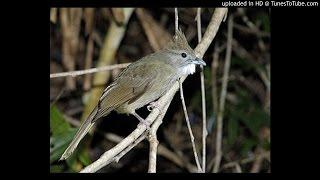 Download Suara Kicau Burung Cucak Jenggot Samurai